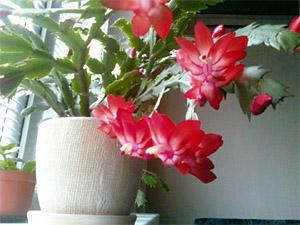 Кактус с красными цветами