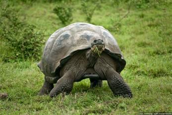 Галапагосская гигантская черепаха