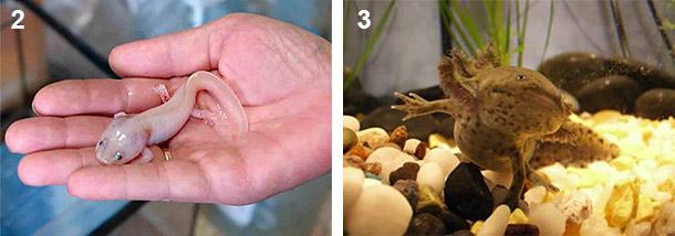 Из личинки во взрослого аксолотля