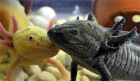 Размножение аксолотлей
