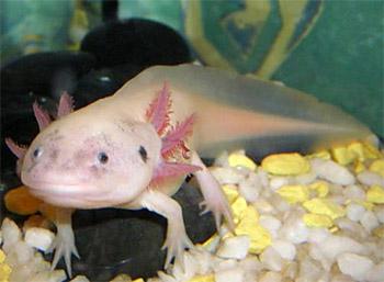 Аксолотль альбинос