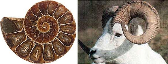 Раковина Наутилуса, рога барана