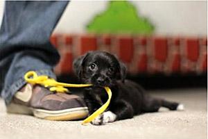 Щенок играет с ботинком
