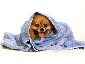 Собака с полотенцем