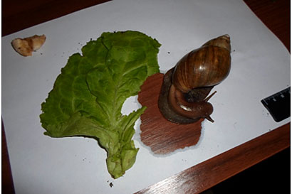 Кормление улитки ахатины салатом и бумагой