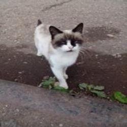 окрас кошек 4
