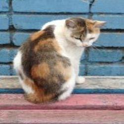 окрас кошек 6