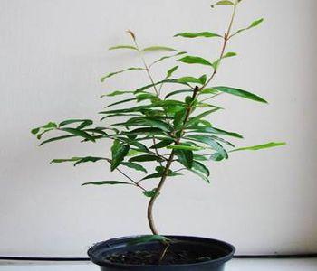 дерево из косточки 14