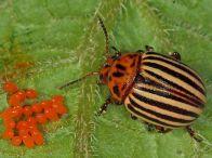 лечинки колорадского жука