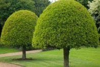 польза дерева