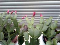 Эпифитные кактусы