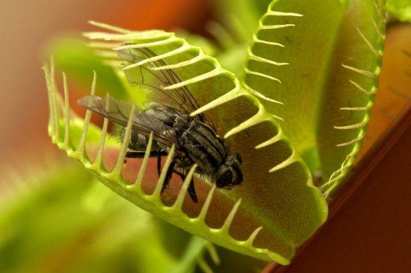 Хищная мухоловка