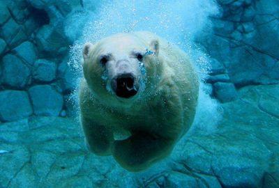 white_bears_1.jpg