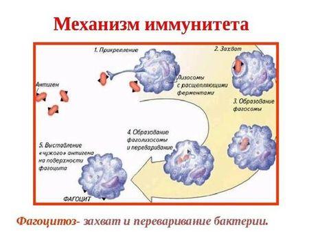 иммунитет 1