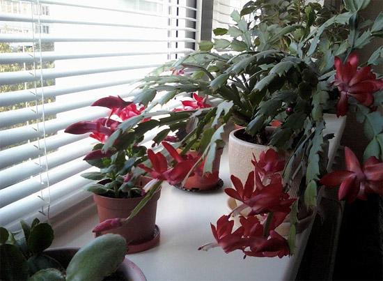 Размножение эпифитных кактусов