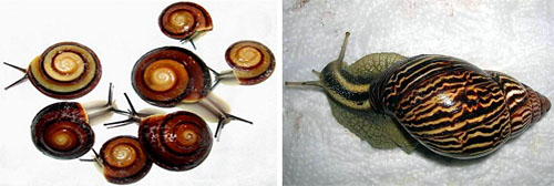 Фото караколуса и кохлитомы варикоза