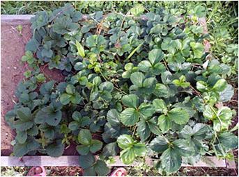 Урожая от сорта клубники Заря не дождались