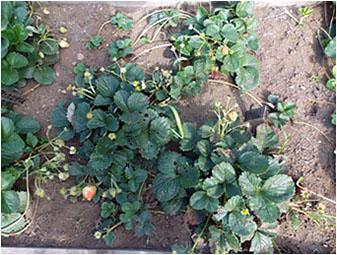 Увядающие растения клубники