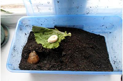 Домик контейнер с грунтом для улитки ахатины