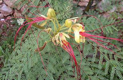 Огненный цветок папоротника