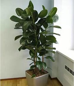 Лекарственное растение Фикус