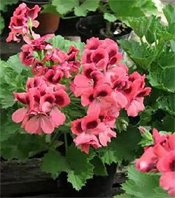 Лекарственное растение Пеларгония