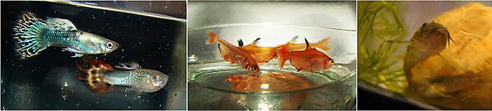 Первые обитатели моего аквариума - рыбки
