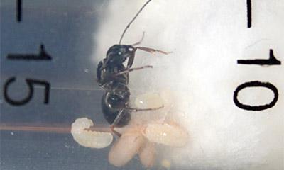 Личинки муравья
