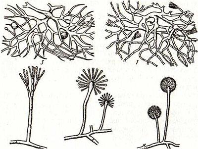 Одноклеточные грибы