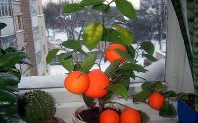 гриб апельсина