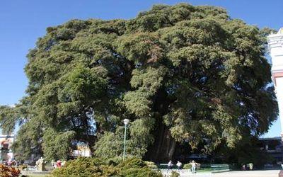 польза дерева 9