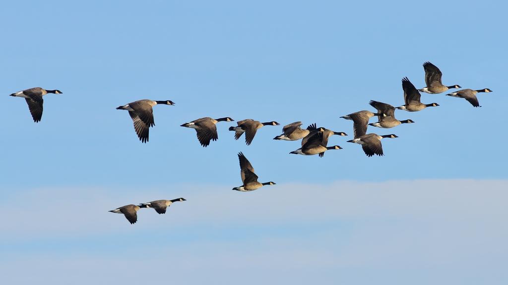 о перелетных птицах