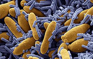 Кисломолочные бактерии под световым микроскопом