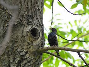 Скворец на дереве