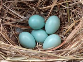 Яйца скворца