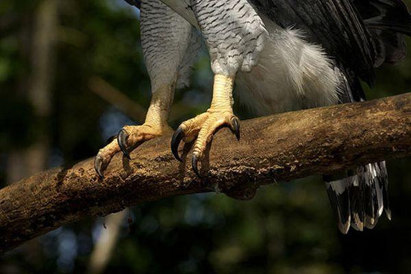 Лапа орла