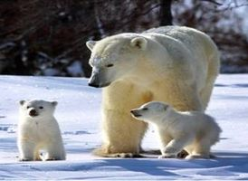 Белые медведи - внешний вид