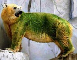 Белые медведи - зелёный цвет шерсти